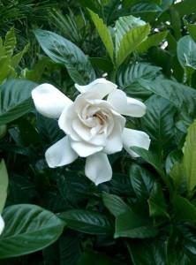 Гардения - Gardenia. Отглеждане. Размножаване.