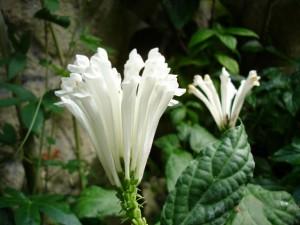 Скутелария - Scutellaria. Видове. Отглеждане. Приложение.