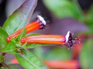 Огнено-червена Куфея - Cuphea ignea. Отглеждане. Размножаване