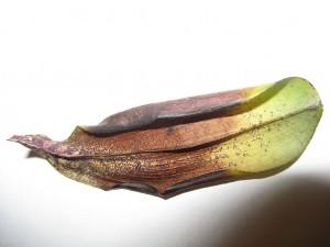 Вредители и болести при орхидеите.