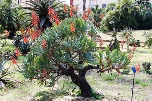 Алое - Aloe. Отглеждане. Размножаване