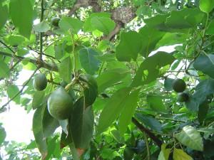 Авокадо — Persea. Отглеждане. Размножаване