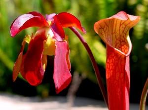 Сарацения - Sarracenia. Отглеждане. Размножаване