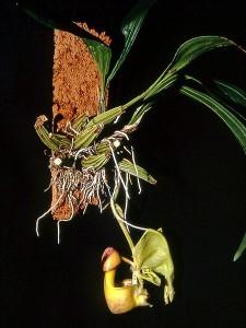 Кориантес – Coryanthes. Отглеждане. Размножаване