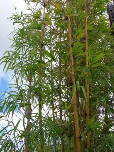 Бамбук - Bamboo. Отглеждане. Размножаване