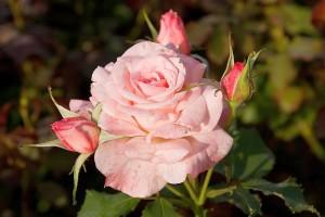 Отглеждане на рози в контейнери