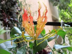 Глориоза – Gloriosa. Отглеждане. Размножаване
