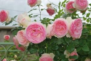 Как да накараме розите да цъфтят повече