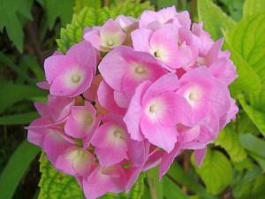 Хортензия - Hydrangea. Отглеждане. Размножаване
