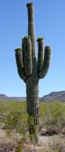 Сагуаро – Saguaro или Гигантска Карнегия – Carnegiea gigantea