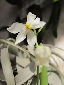 Odontoglossum pulchellum-Одонтоглосум пулхелум. Отглеждане