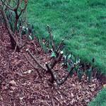 Флорибунди и чаено хибридни рози