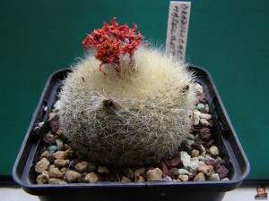 Нотокактус хаселберги – Notocactus haselbergii