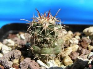 Ферокактус еморий – Ferocactus emoryi