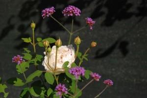 Вербена бонариензиз - Verbena bonariensis