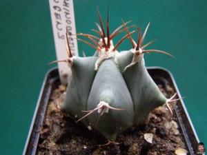 Echinocactus ingens – Ехинокактус ингенс