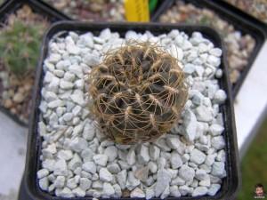 Sulcorebutia arenacea - Сулкоребуция аренацея