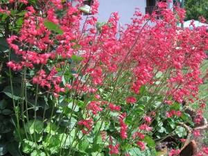 Размножаване на хеухера (хойхера) чрез семена