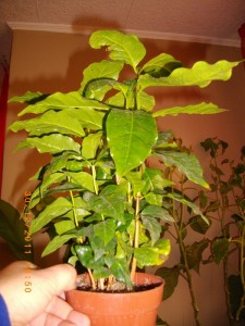 Coffea arabica - Кафе арабика
